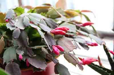 Fertilizer for Christmas cactus
