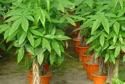 Fertilizer for money tree