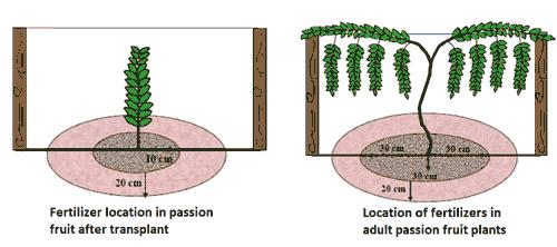 Fertilization area - Passion Fruit