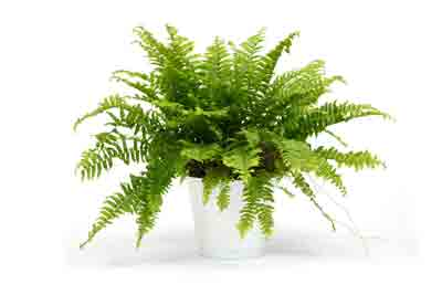 Feeding indoor fern