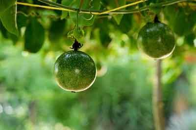 Passion Fruit fertilizer