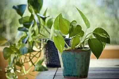 Pothos fertilizer