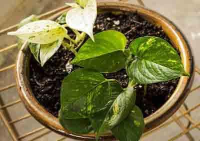Money plant fertilizer