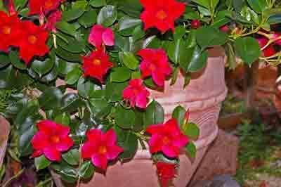 Fertilizer for Mandevilla