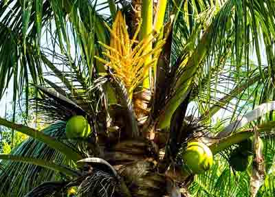 Fertilizer for coconut tree