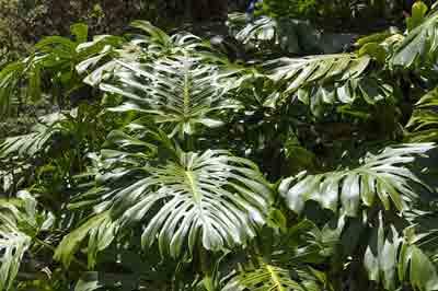Philodendron fertilizer