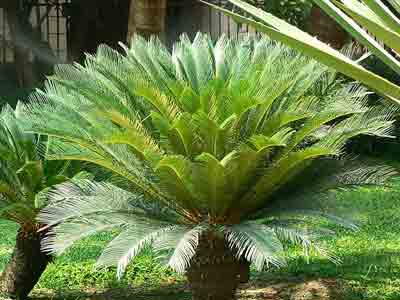Fertilizer for sago palm