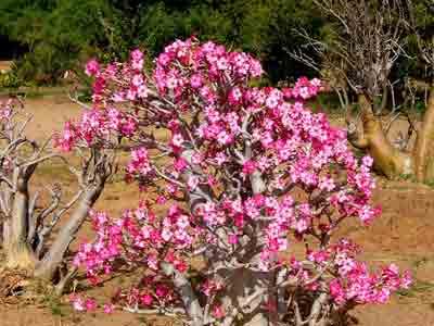 Fertilizer for Adenium or Desert Rose