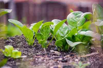fertilizer fro Spinach plant