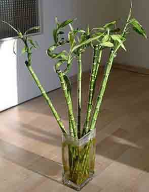 Fertilizer for lucky bamboo in water