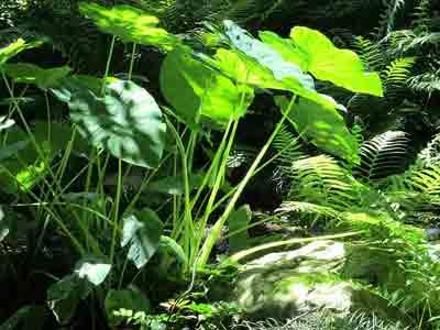 Fertilizer for elephant ears plant