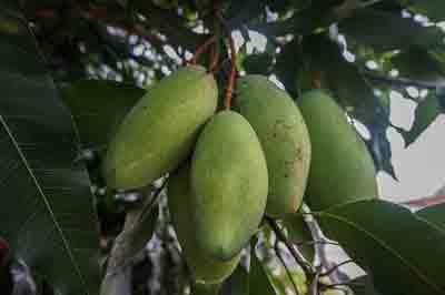 Fertilizer for Mango tree