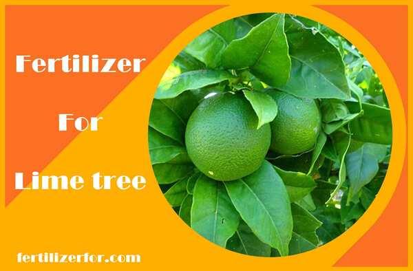Fertilizer for lime tree
