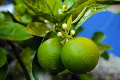 Fruit of lime tree