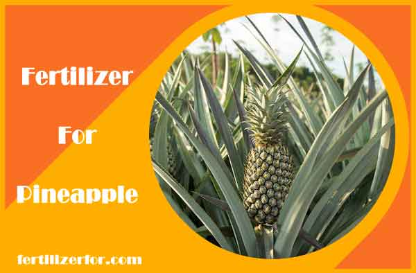 Fertilizer for pineapple plant