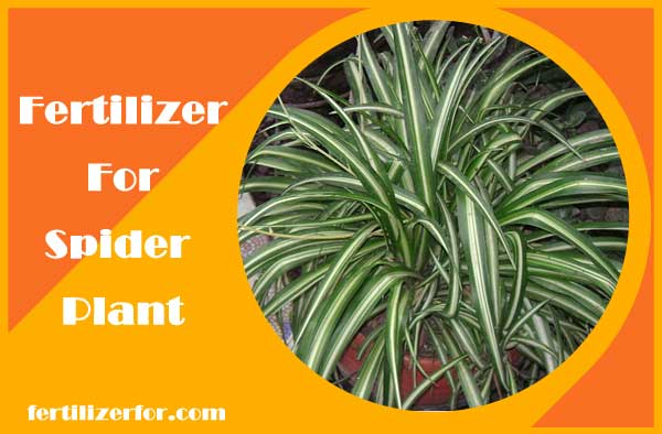 Fertilizer for spider plant - How and when to fertilize