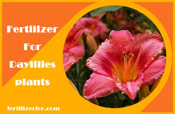 Fertilizer for Daylilies